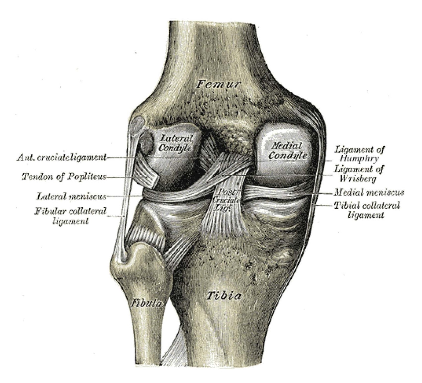 medial collateral ligament injury of the knee - physiopedia, Human Body