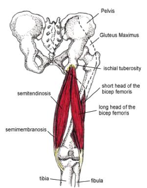 Hamstring origin tendinopathy - Physiopedia