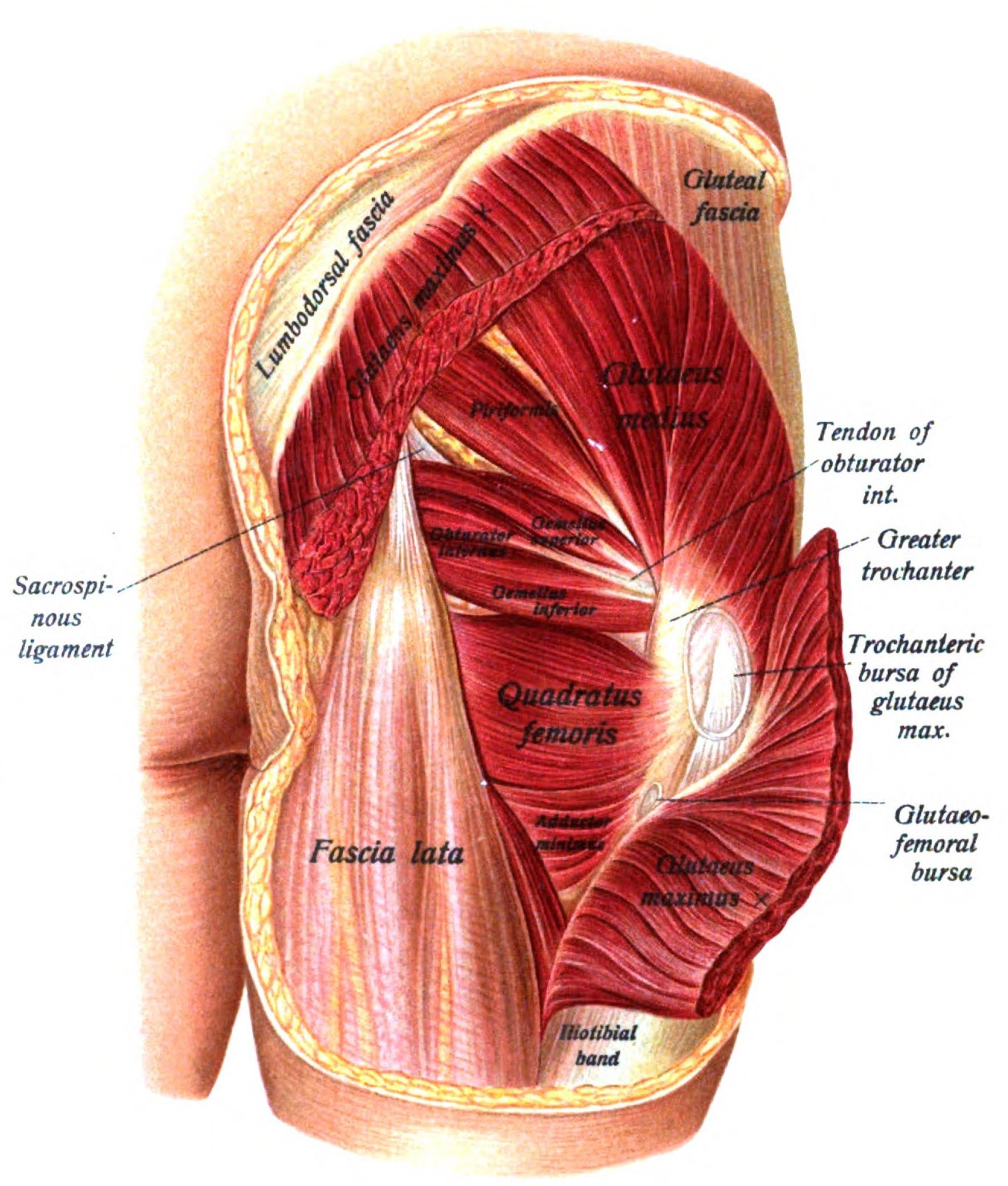 прям мышцы ягодичные строение фото сказать, что это