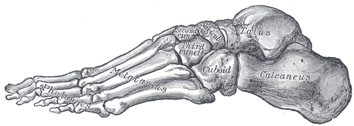 Lateral Arch of the foot.png