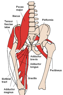 Pectineus Muscle Physiopedia