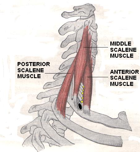 scalene - physiopedia, Human Body