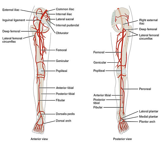 The peripheral vascular system consists of the veins and arteries beyond or distal to the chest and abdomen supplying the arms, hands, legs and feet.