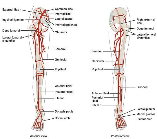 pathology leading to amputation physiopedia rh physio pedia com Vascular Leg Problems Leg Vascular Anatomy