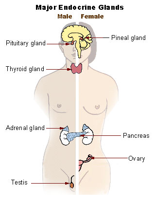 Endocrine system New.png