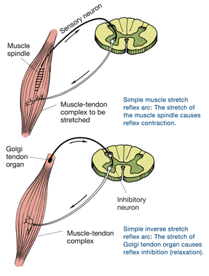 kinesthesis sense of active movement Active and passive touch  kinesthesis provides static and dynamic  k there is little evidence that in the narrow sense active touch is better.
