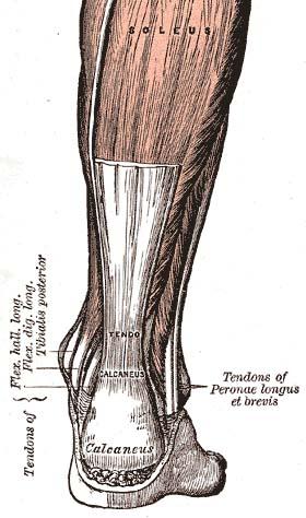 Achilles tendon - Physiopedia
