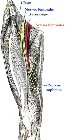 femoral nerve tension test - physiopedia, universal access to, Muscles