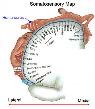 Homunculus lateral to medial.jpg
