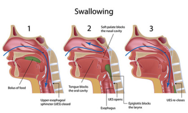 Stages of Swallowing, Voice and Swallowing | UW Health ...