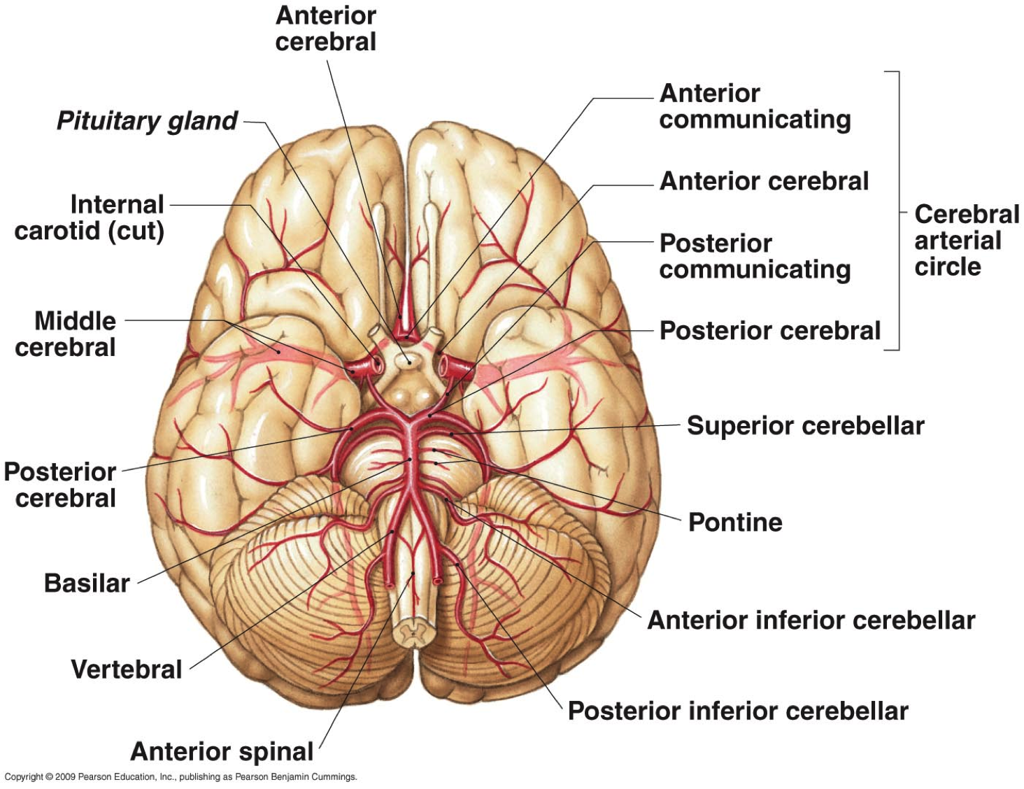 Introduction to neuroanatomy physiopedia brainbloodg ccuart Images