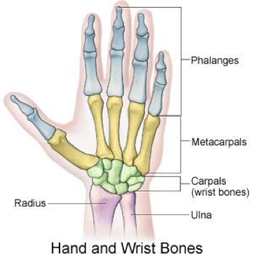 Underside Of Wrist And Hand Diagram - Enthusiast Wiring Diagrams •