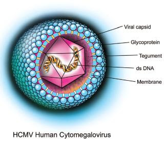 cytomegalovirus research papers