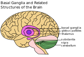 PD Basal Ganglia etc.png