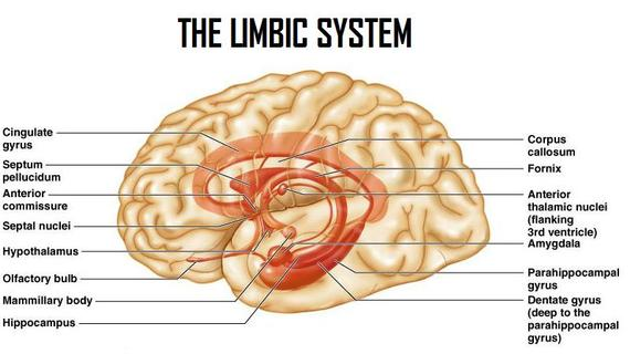 Introduction to neuroanatomy physiopedia the limbic system provides high level processing of sensory information the main outflow of the limbic system is to the prefrontal cortex and the ccuart Images