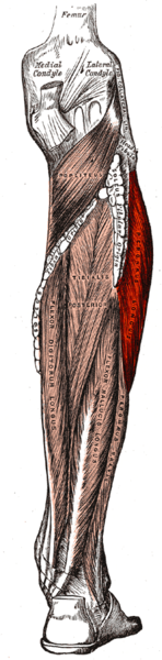 148px-Gray439-Musculus peroneus longus.png