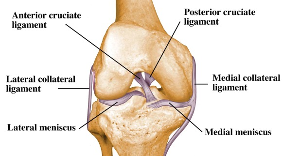 Ligaments-of-the-knee.jpg