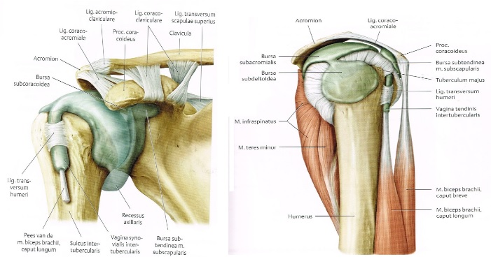 Shoulder Bursitis - Physiopedia