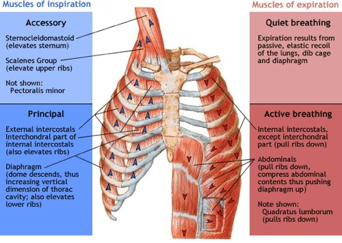 muscles of respiration - physiopedia, Human Body