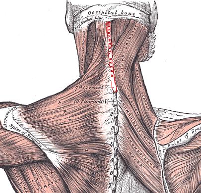 Supraspinous ligament - Physiopedia