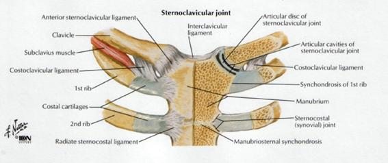 Sternoclavicular Joint Physiopedia