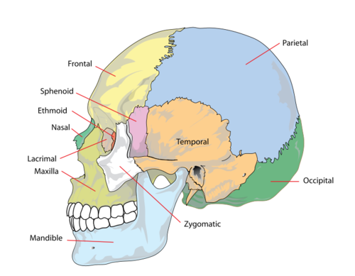 Human skull side.png.png