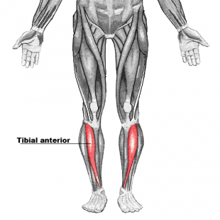 Tibial anterior far.png