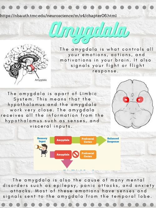 Amygdala - How Emotions Happen.jpg