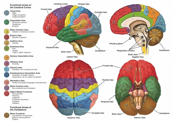 Brain function related to anatomy.jpg
