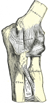 elbow joint ligaments