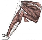 Muscles on the dorsum of the scapula, and the Triceps brachii.
