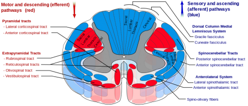Spinal cord cross section.png