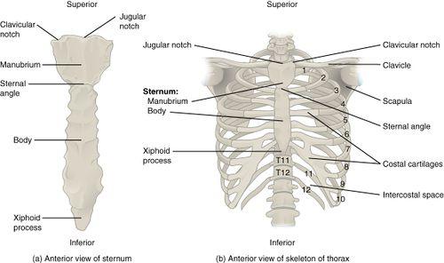 Pain sternum popping Sternum Popping: