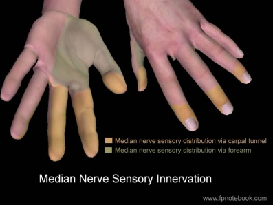 Median Nerve - Physiopedia