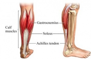 Fig. 1: Anatomy of the calf muscles