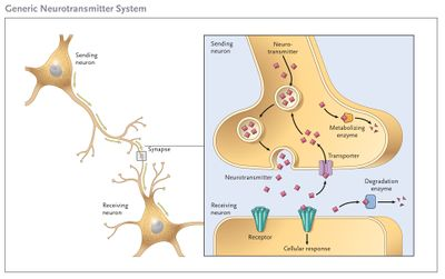 Neurotransmitter System.jpg