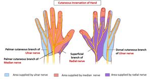 Cutaneous-innervation-of-hand.jpg