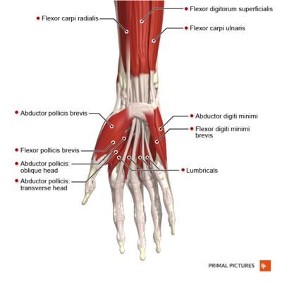 Muscles of the hand anterior aspect Primal.png