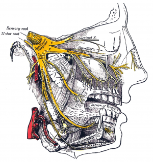 Trigeminal Nerve shown in yellow