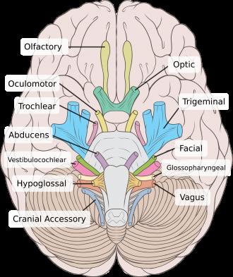 Cranial Nerves Physiopedia