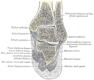 Cross-section of ankle.png