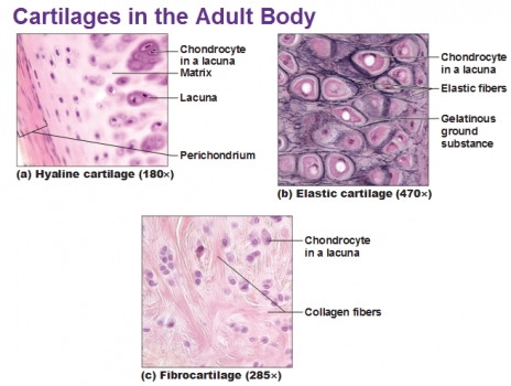 cartilage - physiopedia elastic tissue diagram #10