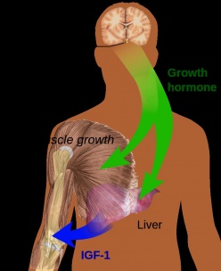 the influence of human growth hormone (hgh) on physiologic, Muscles