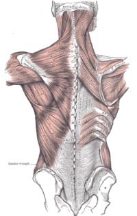 Thoracolumbar Fascia - Physiopedia