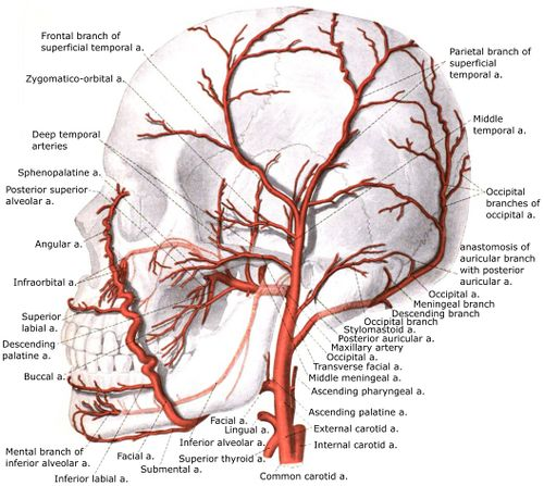 External carotid artery with branches.jpg