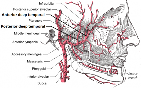 temporal arteritis (giant cell arteritis) - physiopedia, Skeleton