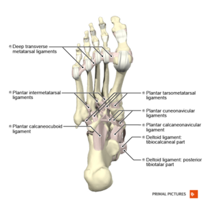 Ligaments of the foot plantar aspect Primal.png