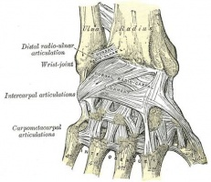 Dorsal View with Ligaments
