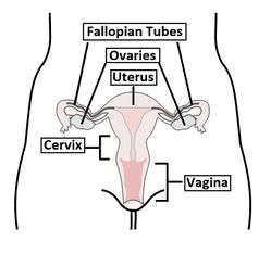 Overview-of-the-Female-Reproductive-Tract.jpg