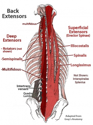 Inactivity and low back pain physiopedia back extensor muscles ccuart